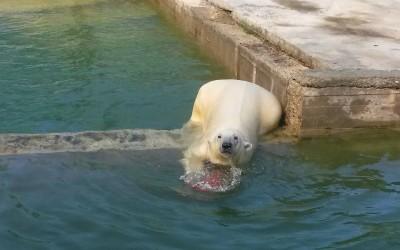 Международный день полярного медведя!