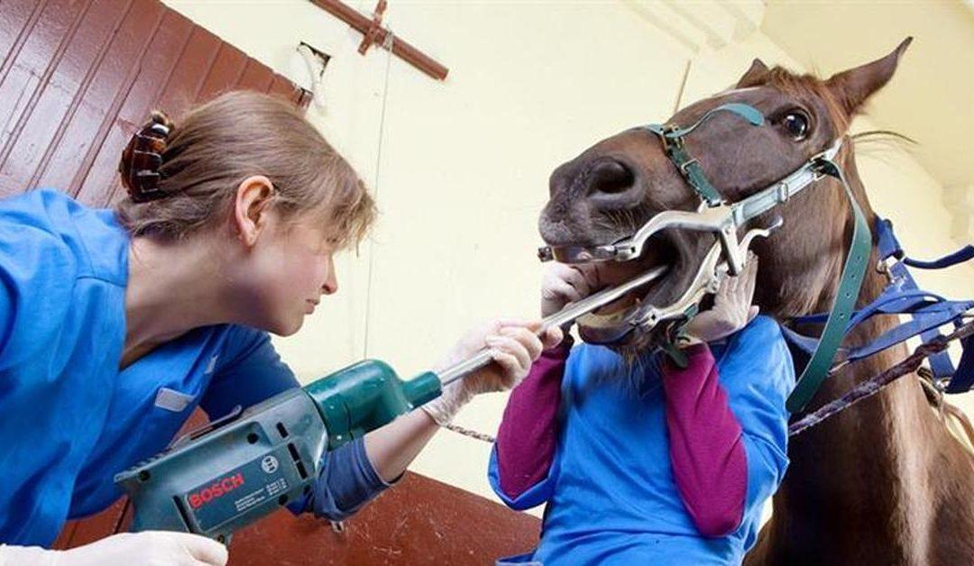 Мастер класс. Стоматология для лошадей. Гигиена ротовой полости, лечение патологий.